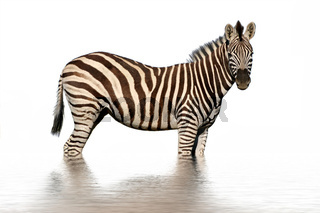 Isolated zebra with water reflection