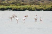 Greater flamingo,  Phoenicopterus roseus, Rosaflamingo