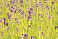 Summer blooming lavender background