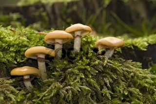 Gemeines Stockschwämmchen (Kuehneromyces mutabilis)