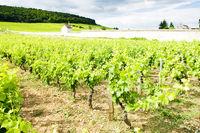 vineyards near Gevrey-Chambertin, Cote de Nuits, Burgundy, France