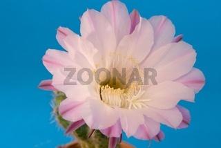 Kaktusblüte (Acanthocalycium spiniflorum)