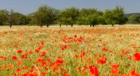 Poppies in cornfield 19