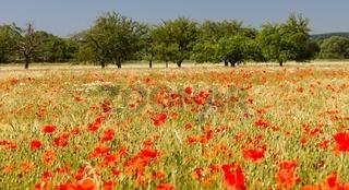 Mohnblumen im Getreidefeld 19