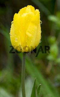 Gelbe Tulpe mit Regentropfen und Blattläusen