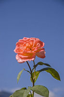 Red rose in front of blue sky