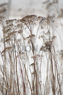 Yarrow stems covered in ice