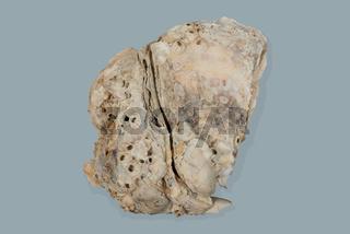 Pazifische Felsenauster auch genannt als Pazifikauster