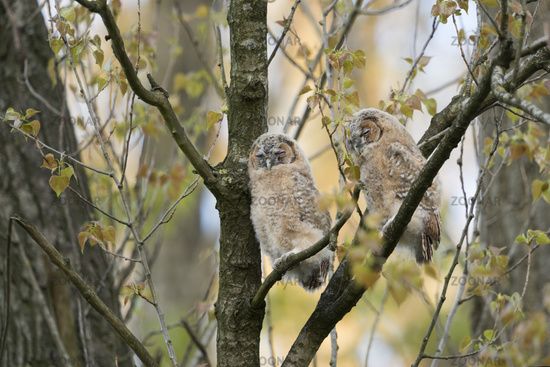 daydreaming... Tawny Owls *Strix aluco*