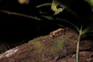 Striped palm pitviper on a trunk in the rainforest