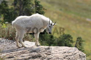 Schneeziege  Mountain Goat Glacier National Park