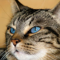 Blue-eyed Tabby Cat
