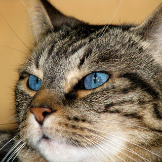 Blue-eyed Tabby Cat