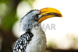 Gelbschnabeltoko (Tockus flavirostris) / Southern Yellow-billed Hornbill (Tockus flavirostris)