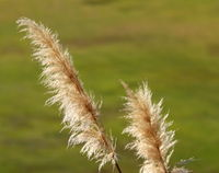 Pampas grass light up by sun shine with a green blurred background.