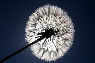 Dandelion Seed and Sun