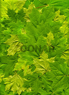 The leaves of maple