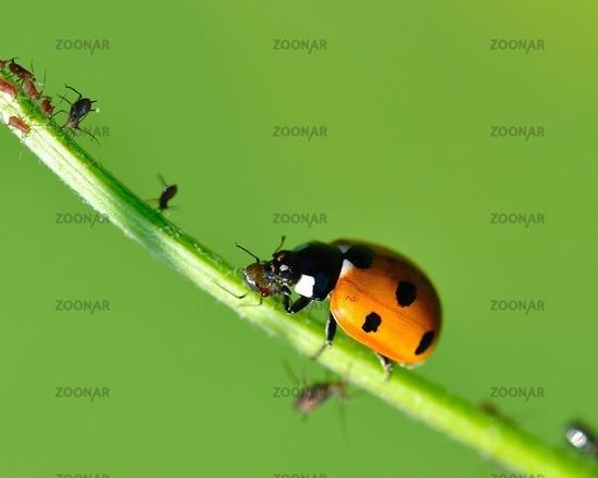 ladybug eats a plant louse