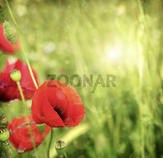 Poppy flowers isolated on green.