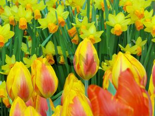 Tulpen und Osterglocken