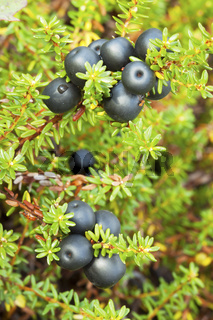Crowberry (Empetrum)