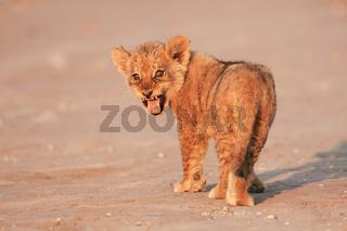 Junge Löwen, Kalahari, South Africa