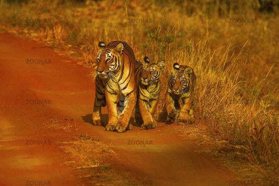 Tiger, Panthera tigris. Hirdinala female with cubs. Tadoba Tiger Reserve, Chandrapur district