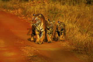 Tiger, Panthera tigris. Hirdinala female with cubs. Tadoba Tiger Reserve, Chandrapur district