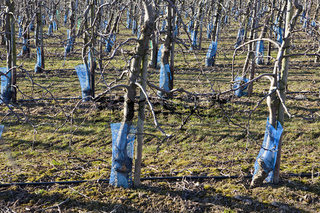 Fruit plantation in March, Germany