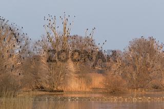Schlafplatz von Kormoranen (Phalacrocorax carbo) an der Elbe, Hamburg, Deutschland, Europa