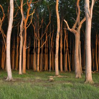 Gespensterwald Nienhagen im Abendlicht