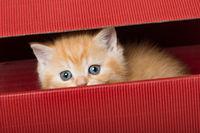 Kätzchen in Geschenkkarton