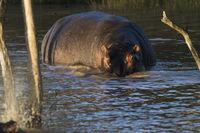 Hippo (Hippopotamus amphibius) iSimangaliso Wetland Park