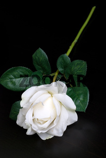 White single rose