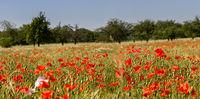 Poppies in cornfield 7