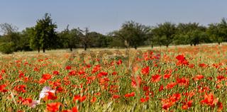 Mohnblumen im Getreidefeld 7
