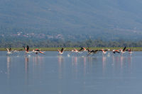 Greater Flamingo at Kerkini Lake, Phoenicopterus roseus, Rosaflamingo