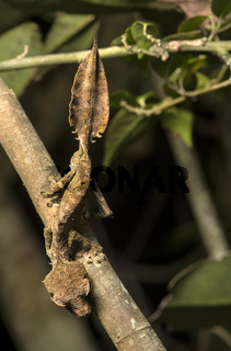 Gecko Uroplatus phantasticus, Anjozorobe Nationalpark, Madagaskar