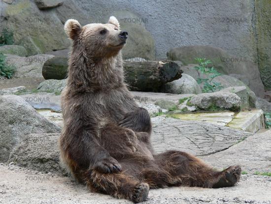 Braunbär sitzt gemütlich und schmunzelt