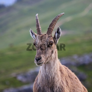 Head of a female alpine ibex
