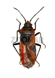 Red and Black Bug on white Background  -  Lygaeus equestris (Linnaeus, 1758)