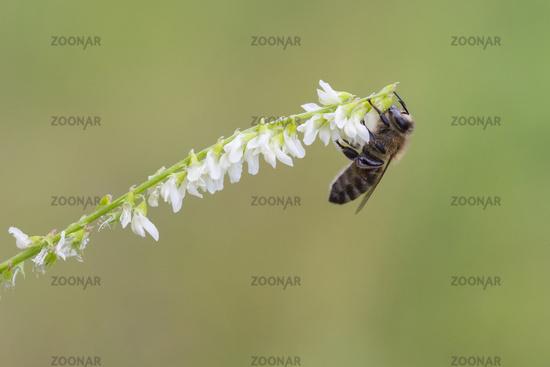 Western honey bee, Apis mellifera