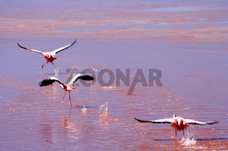Three Flamingoes flying