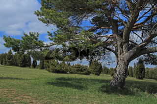 Kiefer auf dem Kalvarienberg