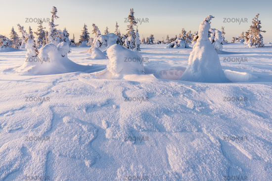 Snow covered spruces, Riisitunturi National park, Lapland, Finland