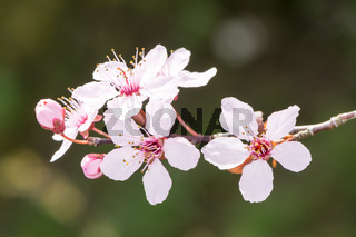 Twig with pink plum blossoms