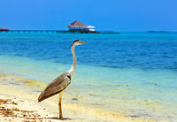 Heron on Maldives beach