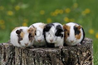 Meerschweinchen aus Haustier