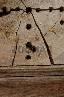 Nisthilfen für Insekten, Nistholz mit Wildbiene