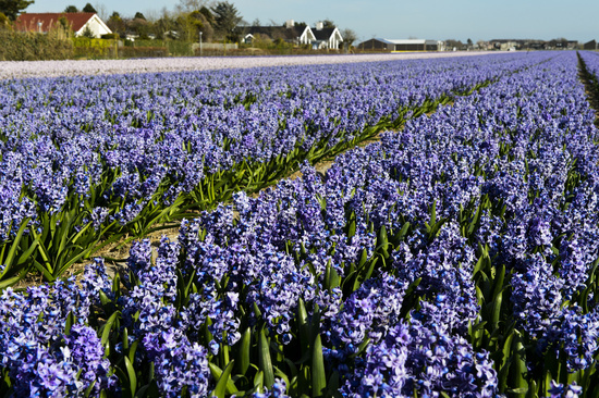 Cultivation area of blooming blue hyacinths, Bollenstreek region, South-Holland, Netherlands